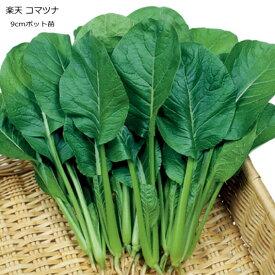 小松菜 楽天小松菜 9cmポット苗 コマツナ