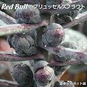 ブリュッセルズスプラウト苗(赤い芽キャベツ)Red Bull 5ポットセット