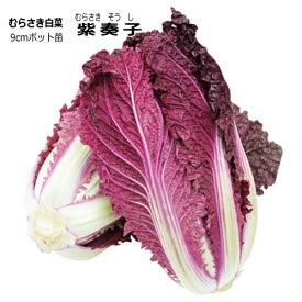 むらさき白菜 紫奏子 ムラサキそうし 9cmポット苗 ハクサイ 【ラッキーシール対応】
