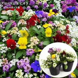 アリッサム & ビオラ おまかせ 12ポットセット 9cmpot苗 【ラッキーシール対応】
