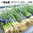 ねぎ ホワイトスター 抜き苗 50本 来早春から収穫用のネギ 【ラッキーシール対応】