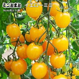実生 ミニトマト イエローミミ 9cmポット苗 【ラッキーシール対応】○