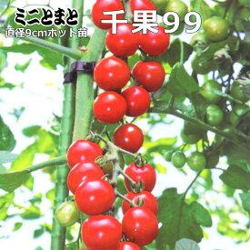 実生 ミニトマト 苗 千果99 トマト 9cmポット苗 【ラッキーシール対応】