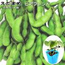 えだまめ苗・ビアフレンド 枝豆