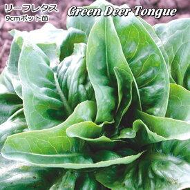 レタス Green Deer Tongue 9cmポット苗 リーフレタス 【輸入種】 【ラッキーシール対応】