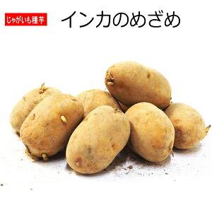 じゃがいも インカのめざめ 種芋 500g ジャガイモ