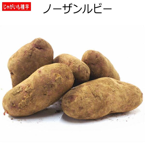 じゃがいも 種芋 ノーザンルビー 500g ジャガイモ 【店頭受取対応商品】