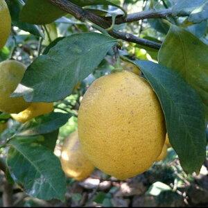 愛媛 中島産 レモン 家庭用 2kg ノーワックス 防腐剤不使用 サイズ不揃い 国産