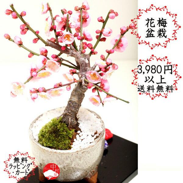 花梅モダン盆栽 信楽焼三つ脚グレー鉢 ハナウメ 花色選べます ギフトプレゼントに