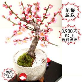 花終了の為値下げ 花梅モダン盆栽 信楽焼三つ脚グレー鉢 ハナウメ 花色選べます ギフトプレゼントに