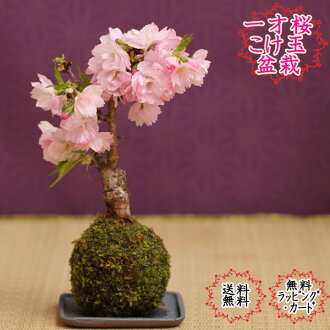 One-year-old cherry blossom cherry Moss ball cherry bonsai with saucer asahiyama cherry home tabletop bonsai mother, mother's day, mother's day perfect cherry blossom bonsai