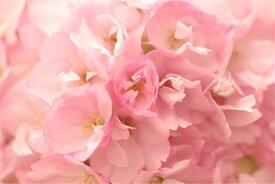 【訳ありアウトレット盆栽材料】枝垂れ桜(シダレ)サクランボ 一才藤 一才桜 松