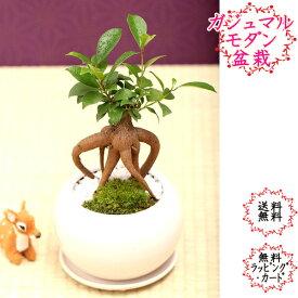 【送料無料】ガジュマル 受け皿付まんまる白鉢 卓上盆栽 盆栽迎春 敬老の日 ギフトプレゼントに