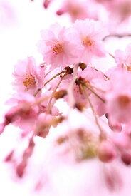 〔葉姿〕八重咲きしだれ桜盆栽 シダレサクラ盆栽 形状お任せ素焼き鉢・受け皿付き 自宅でお花見 母の日プレゼント 母の日ギフトにもぴったり 桜盆栽