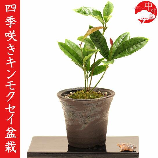 四季咲きキンモクセイ盆栽 高級信楽焼鉢 金木犀 香りの盆栽【楽ギフ_包装】ギフトプレゼントに