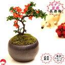 敬老の日【送料無料】四季咲き長寿梅モダン盆栽 瀬戸焼鉢 チョウジュバイ 卓上盆栽おギフトプレゼントに