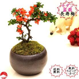 【送料無料】四季咲き長寿梅モダン盆栽 瀬戸焼鉢 チョウジュバイ 卓上盆栽お母の日ギフト母の日プレゼントに