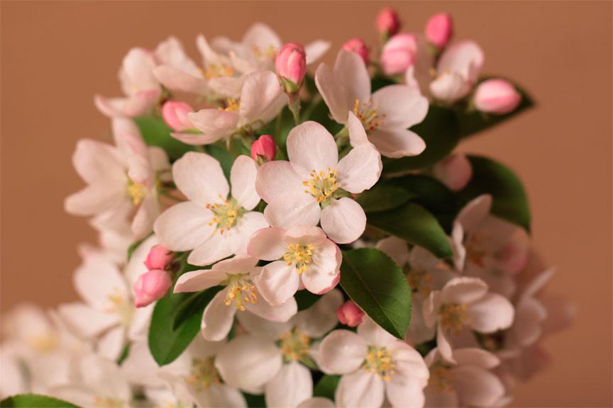 ポット苗 姫リンゴ 4号相当サイズ ヒメリンゴ盆栽プレゼントに