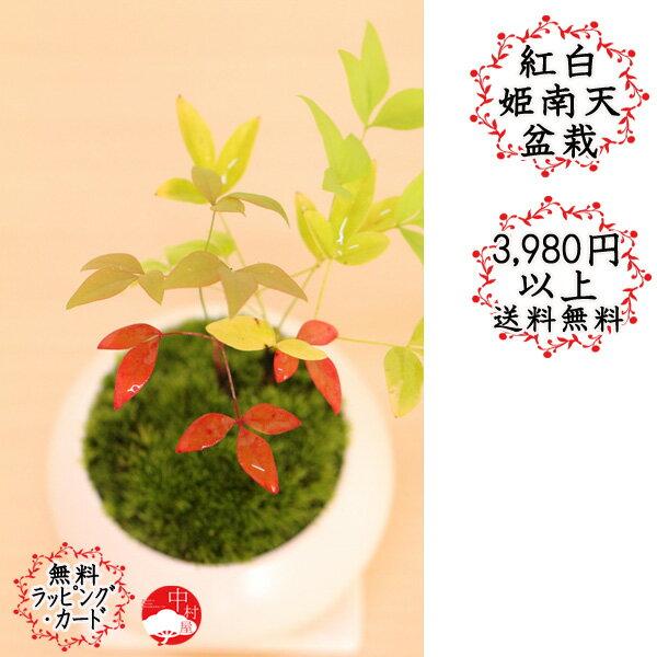 紅白姫南天盆栽 縁起のいいミニ盆栽 ナンテン 卓上盆栽ギフトプレゼントに
