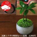 ナギ盆栽 高級イブシ瓦ミニ鉢 鉢の色が選べる盆栽【楽ギフ_包装】迎春 ギフトプレゼントに
