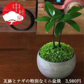 ナギ盆栽 高級イブシ瓦ミニ鉢 鉢の色が選べる盆栽迎春 迎春お正月ギフトプレゼントに