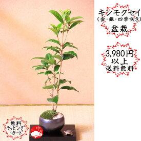 キンモクセイギンモクセイ四季咲きモクセイ 金木犀 香りの盆栽お正月・迎春ギフト正月・迎春プレゼントに