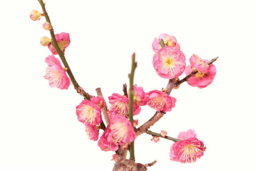 【ビニールポット苗木】花梅盆栽 ミニ梅 瀬戸焼 ハナウメ