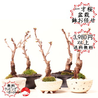 One-year-old cherry Asahi yamazakura cherry bonsai pot type and leave the bargain home blossom tabletop bonsai perfect cherry blossom bonsai