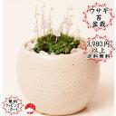 ウサギ苔盆栽 瀬戸焼白鉢の苔盆栽うさぎの花が咲きます!可愛いうさぎ苔【楽ギフ_包装】父の日ギフトプレゼントに