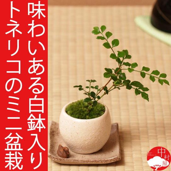 シマトネリコのミニ盆栽 瀬戸焼白鉢 卓上盆栽にぴったり ギフトプレゼントに