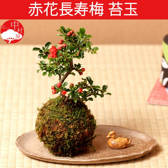 赤花長寿梅 苔玉盆栽 コケダマ チョウジュバイ 女性に人気で 敬老の日ギフトプレゼントに