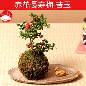 赤花長寿梅 苔玉盆栽 コケダマ チョウジュバイ 女性に人気で 母の日父の日ギフトプレゼントに