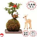 敬老の日【送料無料】赤花長寿梅 苔玉盆栽 コケダマ チョウジュバイ 女性に人気で おギフトプレゼントに