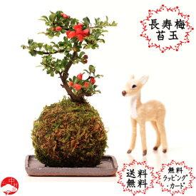 【送料無料】赤花長寿梅 苔玉盆栽 コケダマ チョウジュバイ 女性に人気で おギフト母の日父の日プレゼントに
