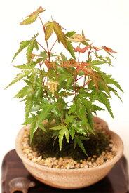 【ビニールポット盆栽素材】イロハモミジ 紅葉 おギフト母の日父の日プレゼントに