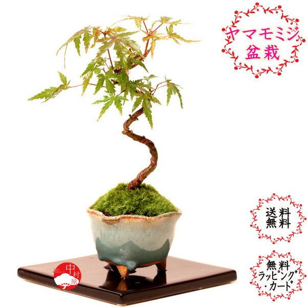 曲がり山モミジとブルー小鉢のミニ盆栽 紅葉 もみじ   【楽ギフ_包装】迎春 ギフトプレゼントに