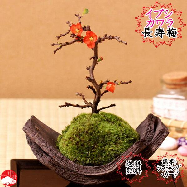 長寿梅盆栽 国産イブシカワラ鉢 チョウジュバイ 卓上盆栽 盆栽敬老の日ギフトプレゼントに