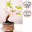 【2020年春開花】まっちゃ色鉢 京都御所の八重桜(南殿桜) なでんざくら ナデンサクラ さくら盆栽