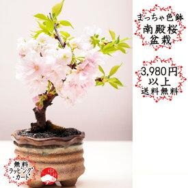 【2021年春開花中】まっちゃ色鉢 京都御所の八重桜(南殿桜) なでんざくら ナデンサクラ さくら盆栽