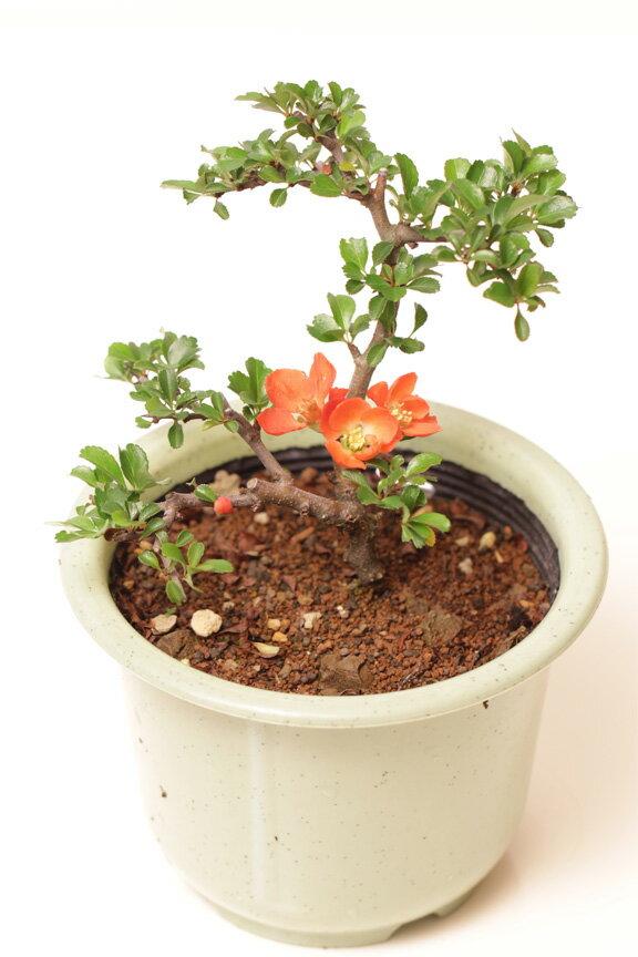 【苗木 庭木】長寿梅ポット苗 花色選べます ギフトプレゼントに
