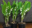 幸福を呼ぶ花「スズラン」 小鉢3個セット