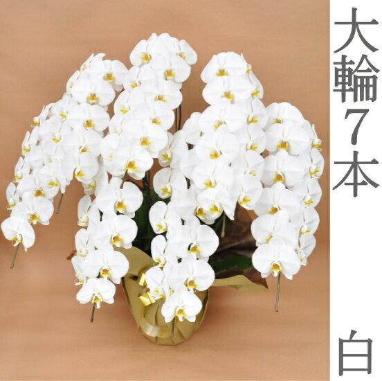 胡蝶蘭 大輪 白 7本立ち 開店祝い 送料無料 お祝い 開業祝い 移転祝い 就任祝い ビジネス 還暦祝い 長寿祝い 花