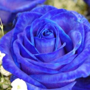 ブルーローズ 青いバラ 1本から購入OK 11本以上の購入で基本送料無料 オランダ産  誕生日 お祝い 花 フラワー 結婚記念日 お礼