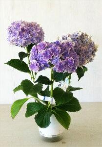 【送料無料】アジサイ 万華鏡 ブルー花4号鉢キレイなアジサイです。