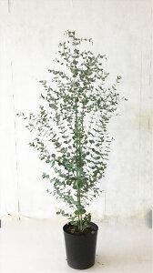 【送料無料】ユーカリ グニー 高さ約1.2m(鉢底から)7号鉢 常緑樹沖縄は送料が必要サンプル画像 同等品の発送
