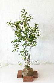 【送料無料】ソヨゴ株立 A 高さ1.2m〜1.5mたくさんの実がついています、(撮影時)木だけのサイズ表示(根鉢含まず)サンプル画像 同等品の発送 常緑樹,シンボルツリー,日影に強い沖縄、北海道は送料が必要