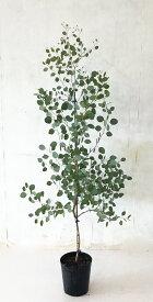 【送料無料】ユーカリ ポポラス  高さ約1.5m(鉢底から)7号鉢 サンプル画像 同等品の発送 常緑樹、シンボルツリーサンプル画像 同等品の発送