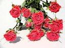 ドライフラワー花材 SPバラ・セレブレイト