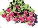 ドライフラワー花材 SPバラ・グラシア