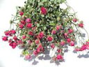 ドライフラワー花材 SPバラ・スモールウッド・ピンク(極小のバラ)